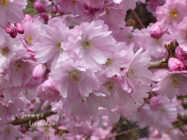 櫻花盛開2.jpg