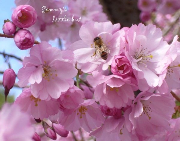 櫻花與蜜蜂.jpg