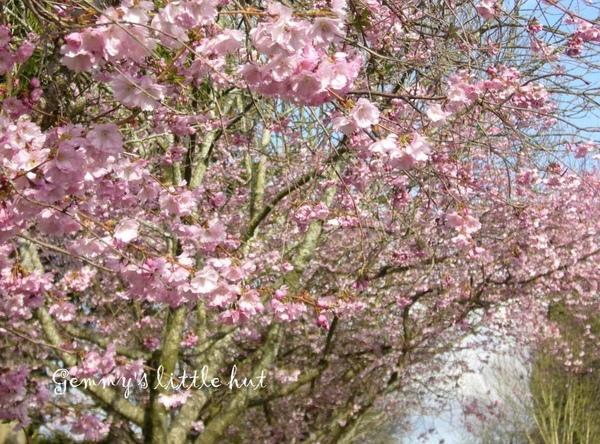 櫻花盛開3.jpg