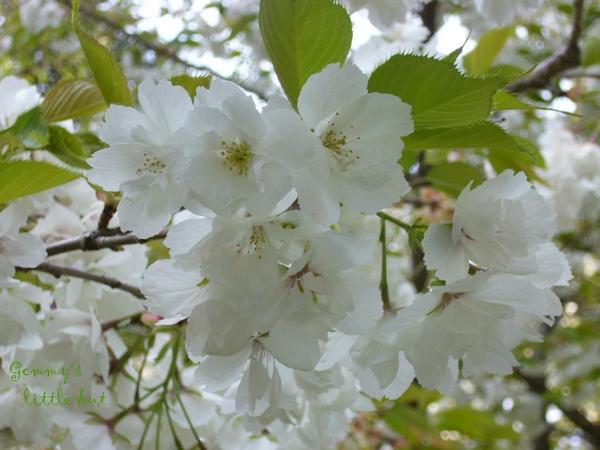 白色櫻花1