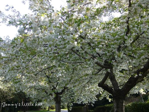 白色櫻花2