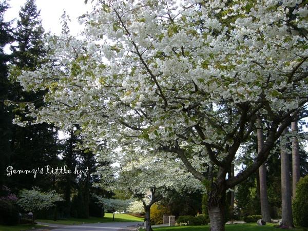 白色櫻花3