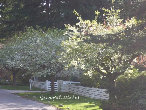 白色櫻花4