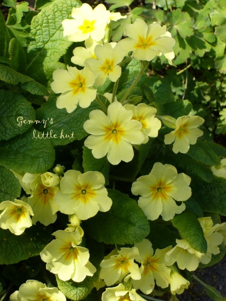 四月黃色Primula.jpg