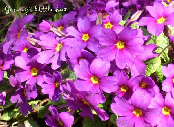 四月初purple primula.jpg