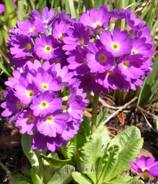 四月初purple drumstick primula.jpg
