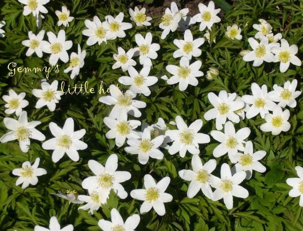 四月初Anemone white.jpg