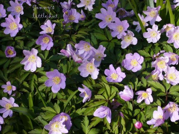 四月中 淡紫色Anemone.jpg