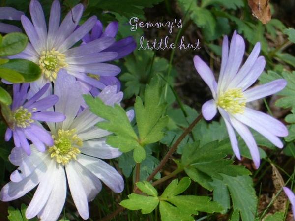四月中紫藍色Anemone.jpg