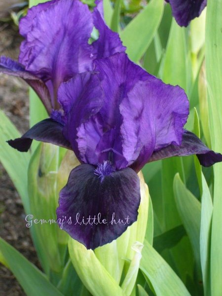 Iris dark purple.jpg