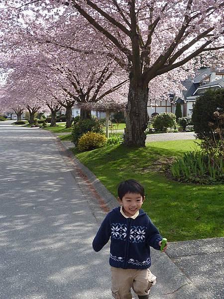 cherry blossom 31.JPG