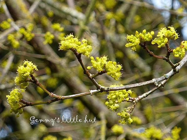 三月花園Cornus Mas.jpg