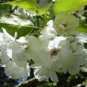白色櫻花 146.JPG