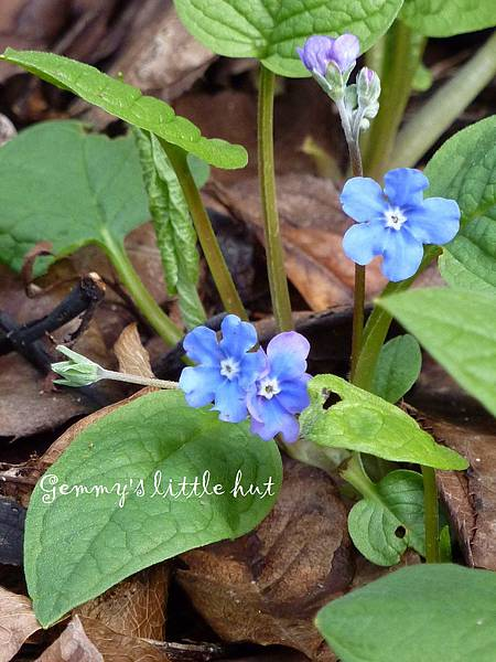 forget-me-not1.JPG