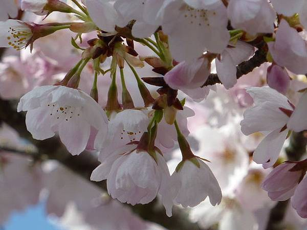cherry blossom 23.JPG