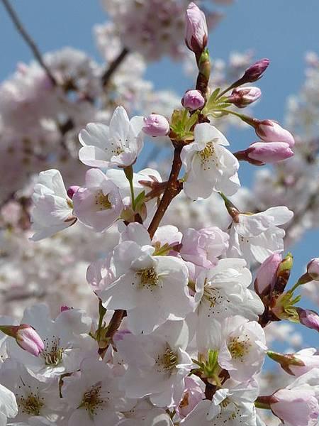 cherry blossom 17.JPG