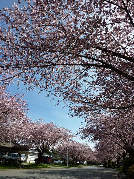 cherry blossom 3.JPG