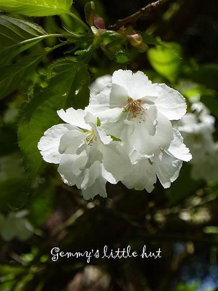 白色櫻花 143.JPG