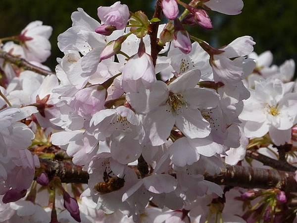 cherry blossom 16.JPG