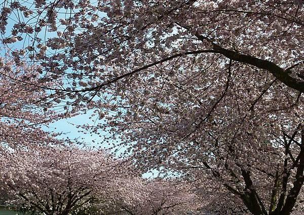 cherry blossom 6.JPG