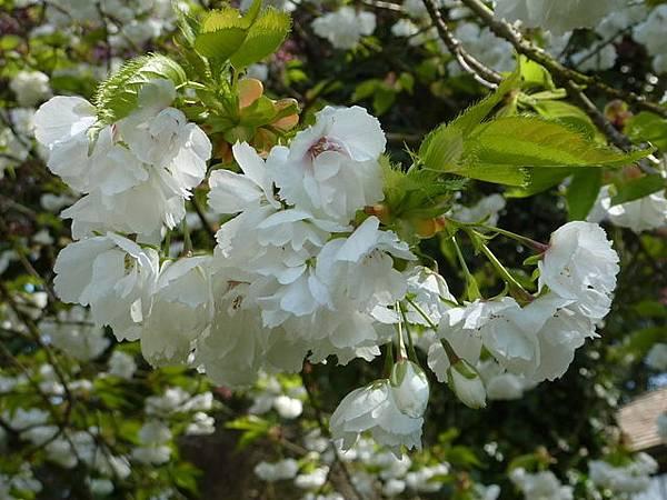 白色櫻花 099.JPG