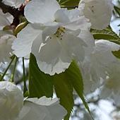 白色櫻花 173.JPG