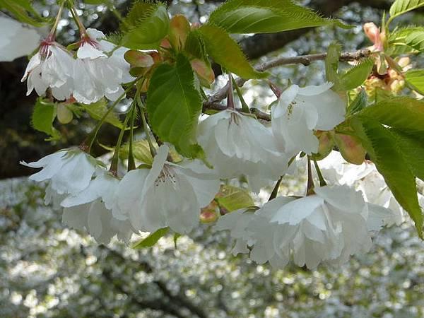 白色櫻花 172.JPG