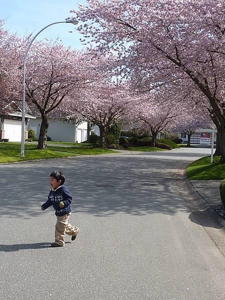 cherry blossom 29.JPG