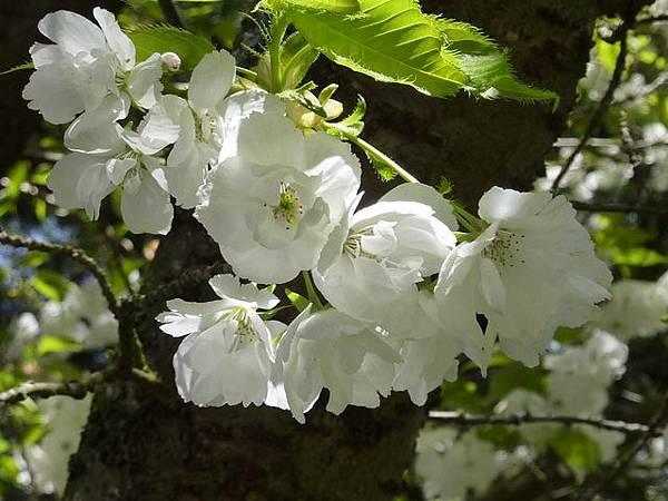 白色櫻花 151.JPG