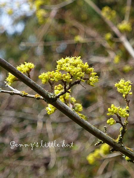 三月中花園Cornus Mas~Cornelian cherry.jpg
