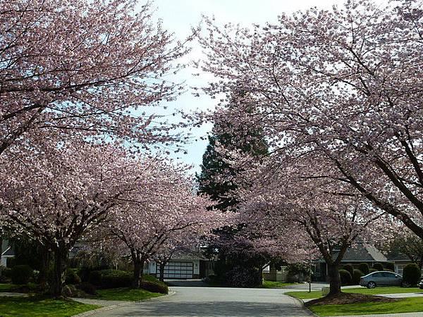 cherry blossom 5.JPG