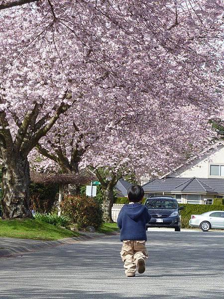 cherry blossom 32.JPG