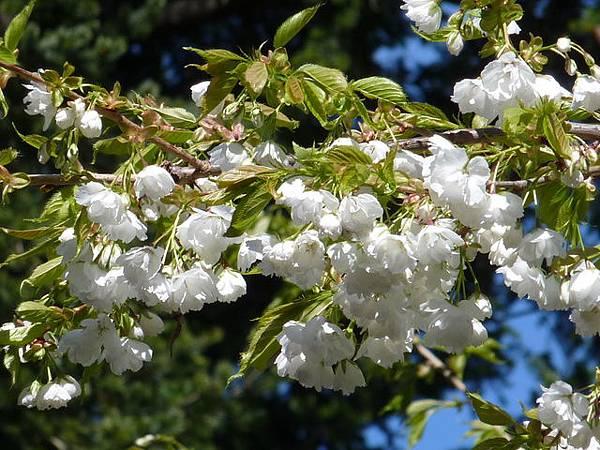 白色櫻花 159.JPG