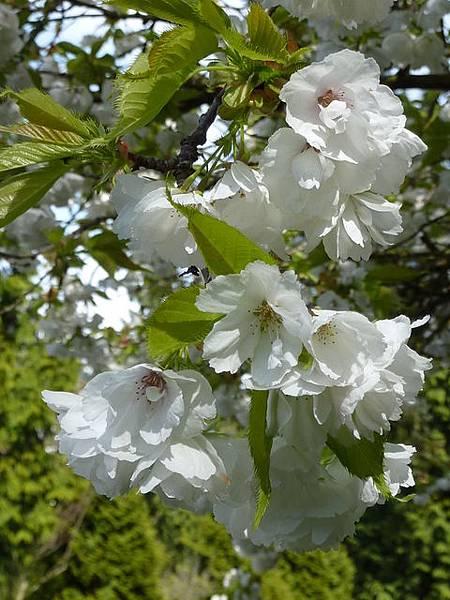 白色櫻花 097.JPG