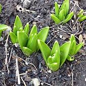 hyacinth Mar.06,2011.jpg