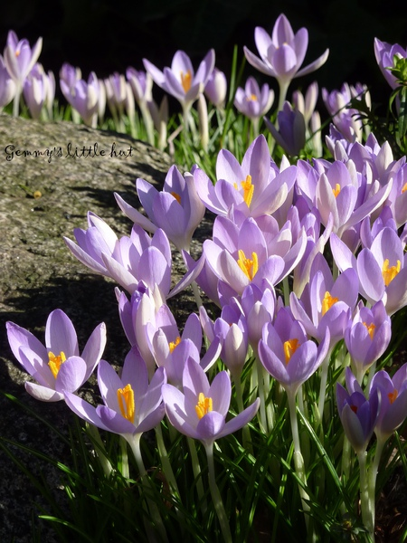 FEB. 2010 crocus growing beside rocks.jpg