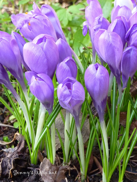 2010 dark purple crocus.jpg
