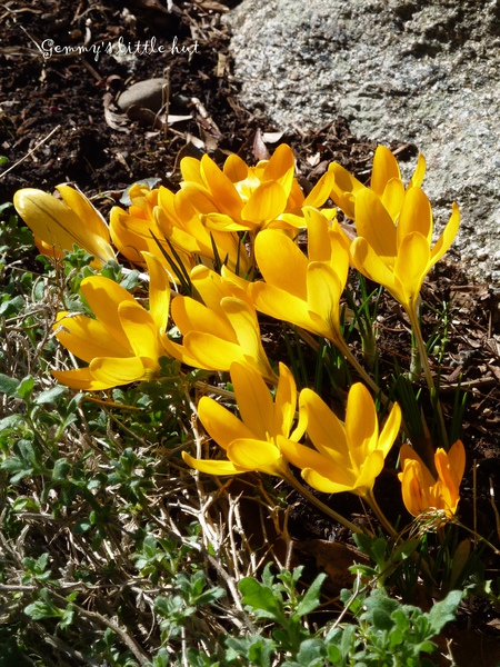 2010 yellow crocus.jpg