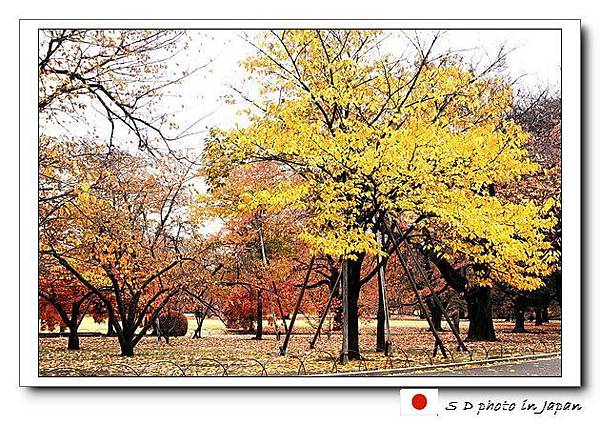 銀杏樹.jpg