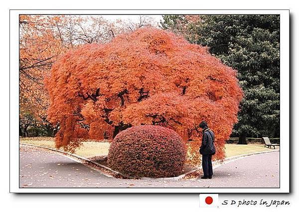 楓紅.jpg