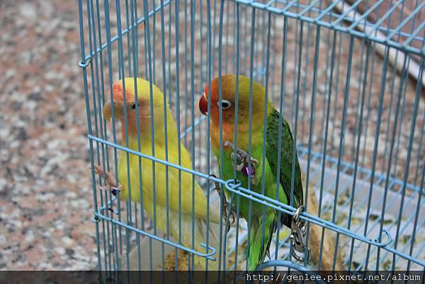 群鸚飛舞館 鸚鵡