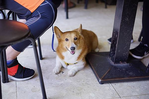 威爾斯柯基犬.jpg