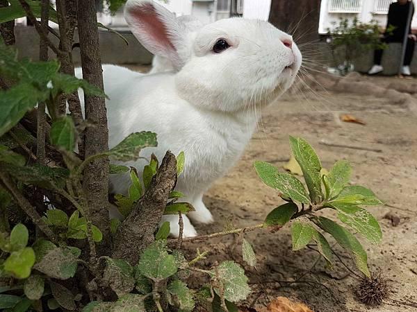 白兔的仰望.jpg
