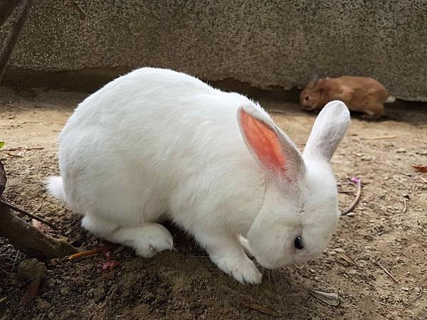 吃草兔.jpg