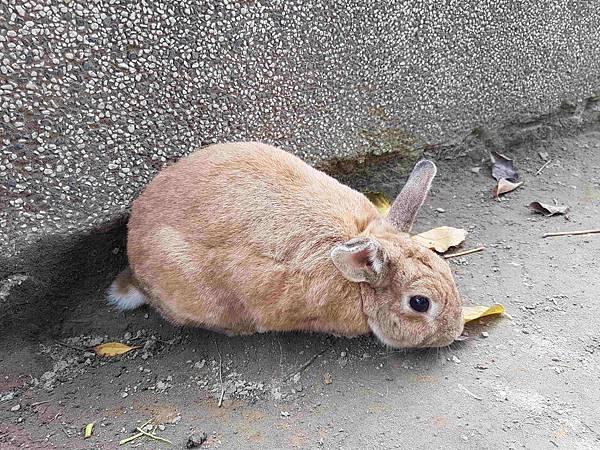 低頭兔.jpg