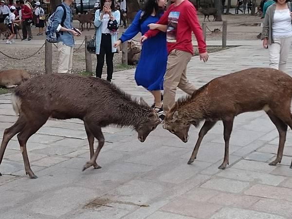 鹿打架.jpg
