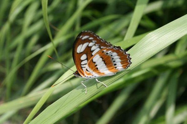 玄珠帶蛺蝶