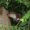 玉帶鳳蝶 (白斑型)