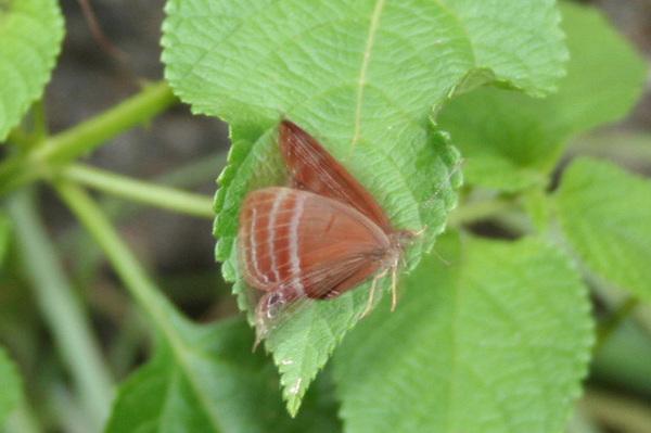 蛇目蛺蜆蝶