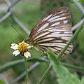 黑脈園粉蝶 (濕季型)